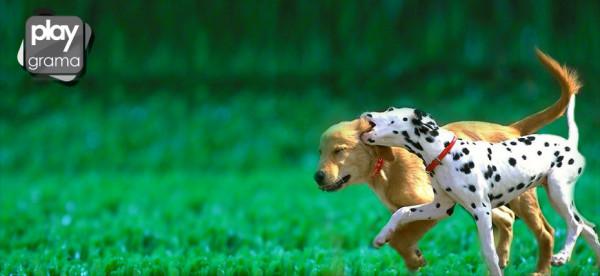 grama sintética para cachorro
