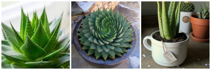 Jardim de Suculentas - Aloe Vera