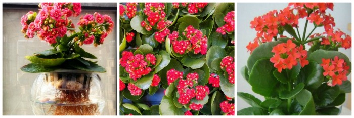 Jardim de Suculentas - flor da fortuna