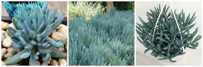 Jardim de Suculentas - senécio azul