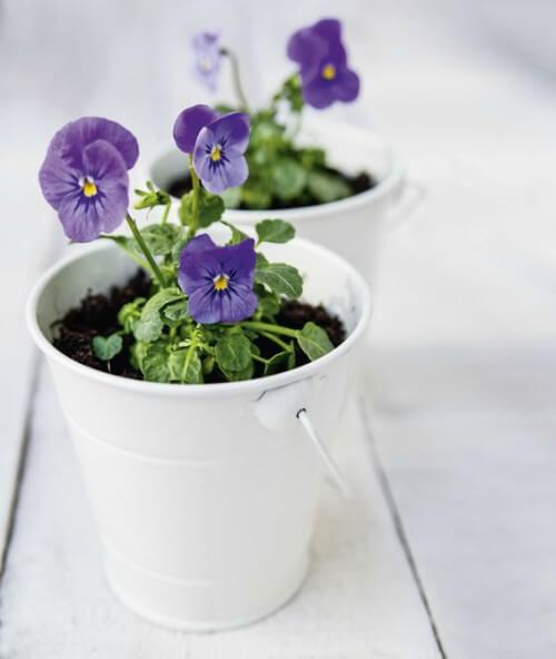 Violeta em vaso de planta