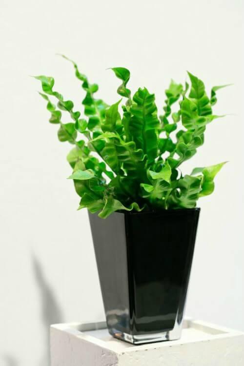 Asplênio em vaso de planta