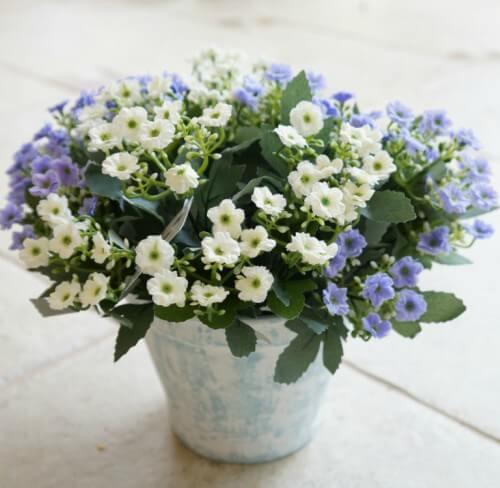 Kalanchoe em vaso de plantas