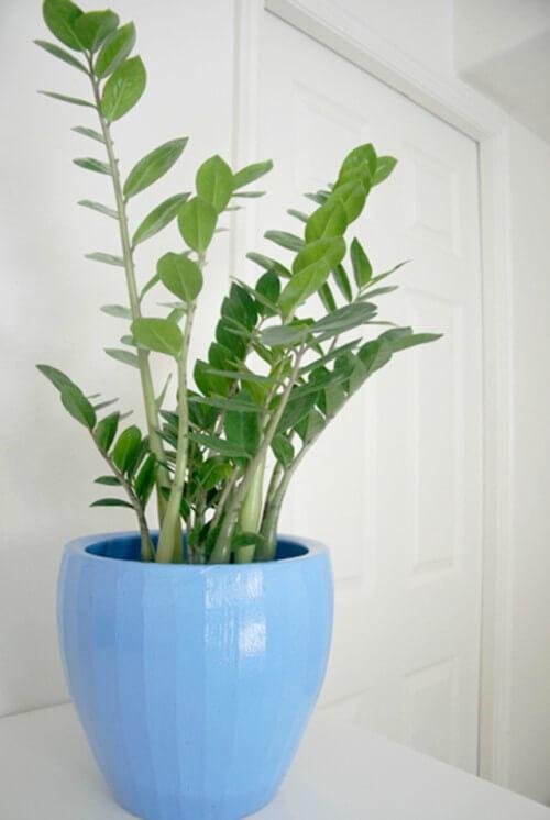 Zamioculcas em vaso de plantas