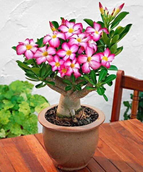 Rosa do Deserto em vaso de plantas