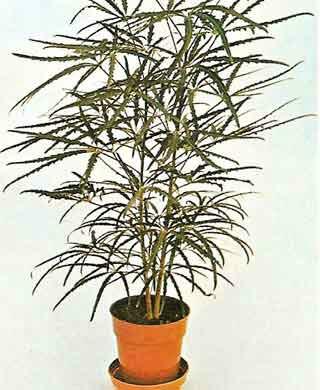 Arália Falsa em vaso de plantas