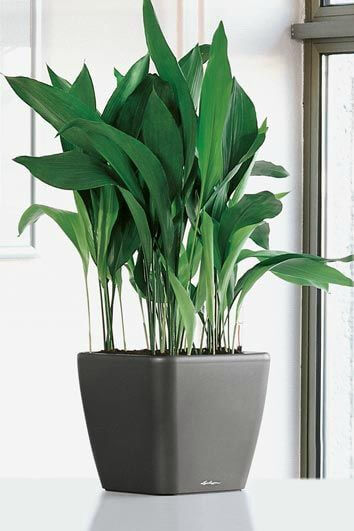 Aspidistra em vaso de plantas
