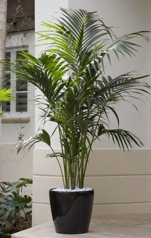Chamaedorea em vaso de plantas