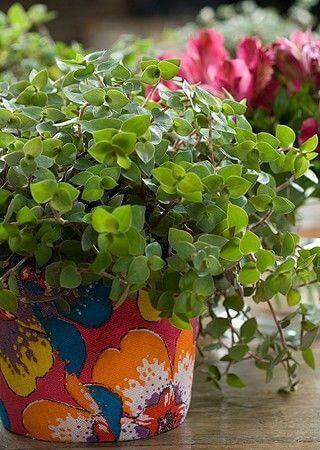 Dinheiro em Penca em vaso colorido para plantas
