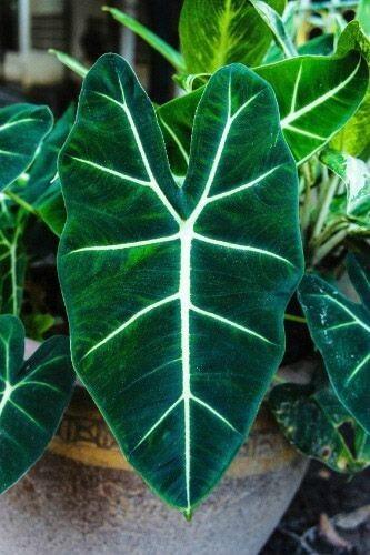 Folhas de Punhal Malaio
