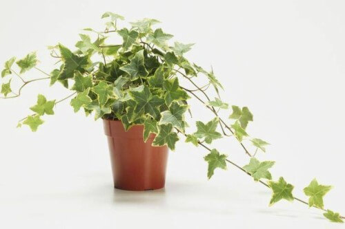 Hera em vaso de plantas