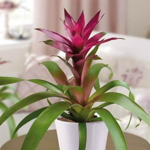 Bromélia em vaso para plantas na mesa