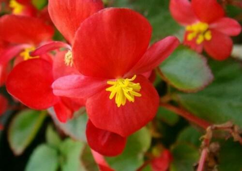 Flor de uma Begônia Híbrida