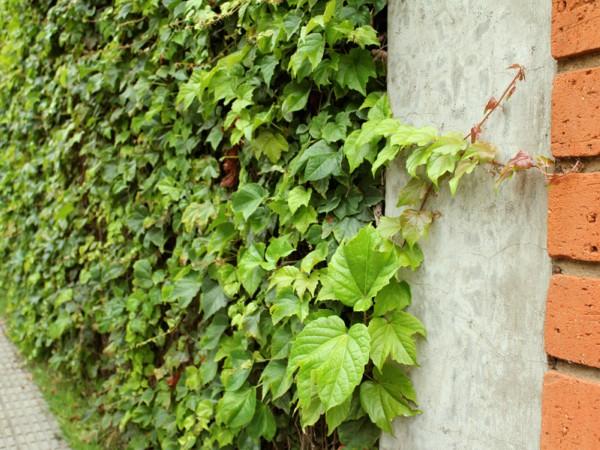 falsa vinha no muro