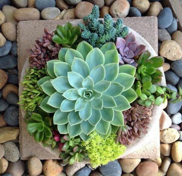 Plantas Suculentas de diversas cores em fundo com pedras de leito de rio