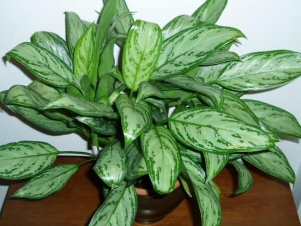 Planta Aglaonemas na decoração da sala