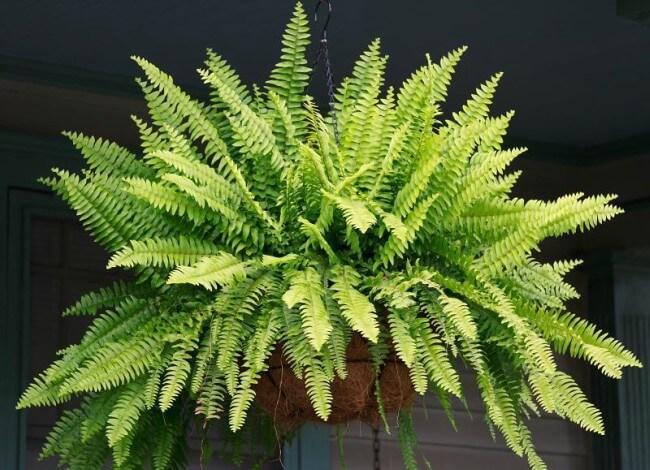 Planta Samambaia decoração para sala