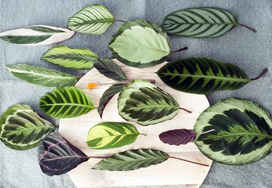 Planta Calathea boa para ambientes fechados