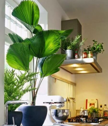 Palmeira Leque planta para decorar a sala