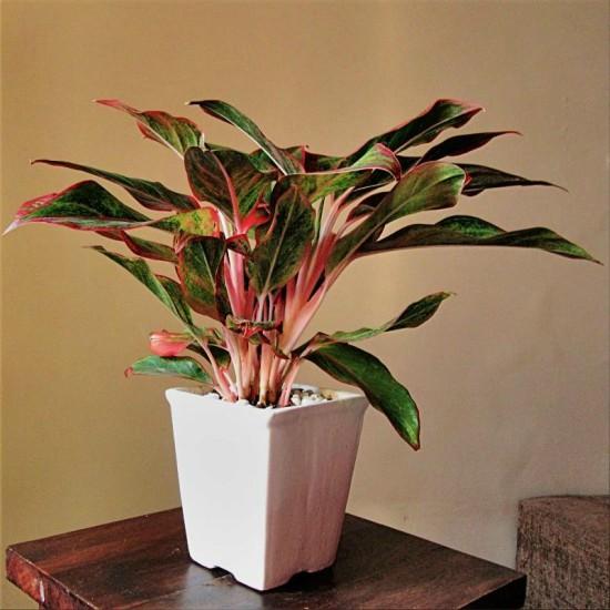 Planta Aglaonema ideal para vasos de ambientes internos