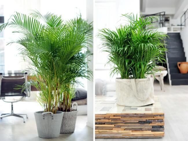 Planta Palmeira Areca na decoração de sala