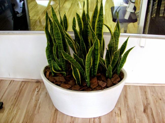Planta Espada de São Jorge ideal para ambientes internos