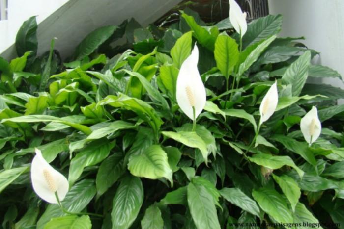 Planta Lírio da Paz ótima decoração para casa