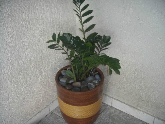 Planta Zamioculca na decoração da sala