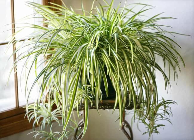 Planta Clorofito para decorar a sala