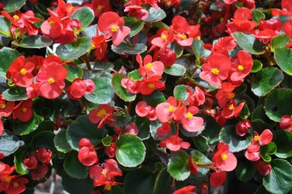 Begônia é um flor resistente ao frio