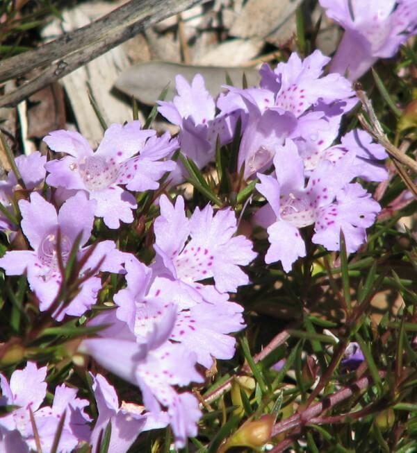 Azaléia é um flor resistente ao frio