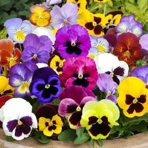 Amor-perfeito é uma flor resistente ao frio