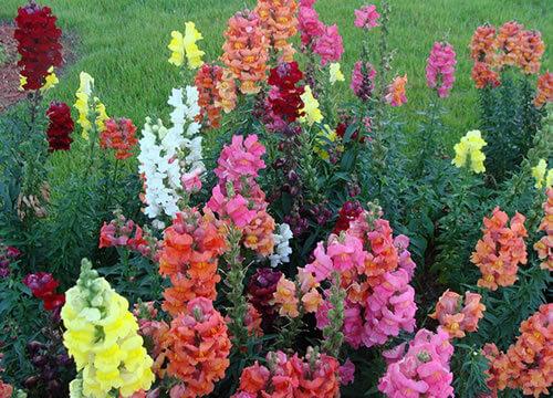 plantas aeromáticas