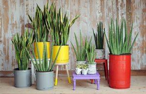 A Espada-de-são-jorge é uma das plantas mais resistentes e queridinhas das casas brasileiras
