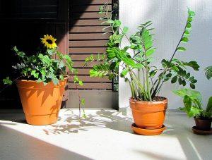 As zamioculcas são ótimas opções para jardins pequenos dentro de casa!