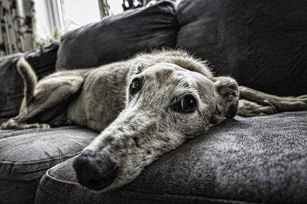 Cachorro deitado em cima de sofá